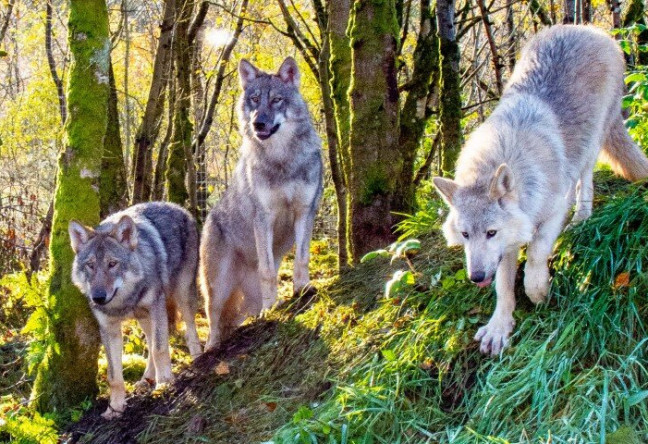 Things to do in County Donegal, Ireland - Wild Ireland Animal Sanctuary - The Wolf was once widespread in Ireland - YourDaysOut - Photo 2